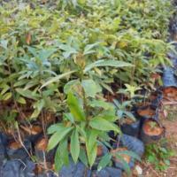 供应楠木批发,楠木小苗批发出售,大量楠木苗出售,广州市楠木市场报价。