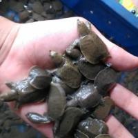 供應用于的湖南甲魚養殖場出售批發中華鱉苗/優質甲魚苗批發甲魚養殖場供應