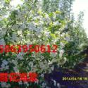 白兰地海棠基地图片