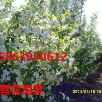 供应白兰地海棠基地,山东大规格的垂丝海棠,大规格的垂丝海棠种植,高杆的海棠价钱