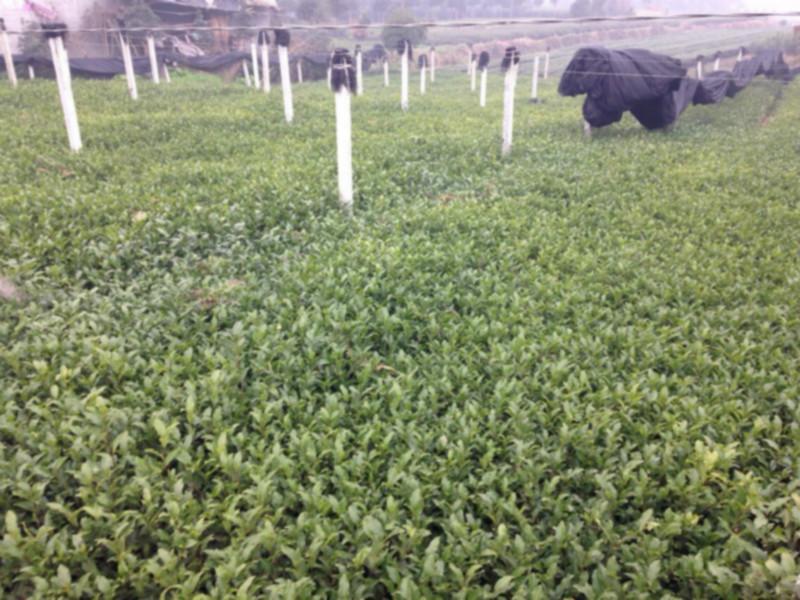 供应最新名选131茶苗出售,四川雅安哪里有名选131茶苗