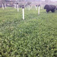 四川名选131茶苗报价,长期供应优质黄金茶苗,大量批发优质黄金茶