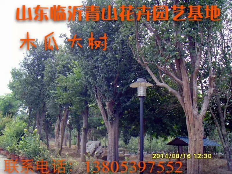 供应山东最优质的木瓜大树