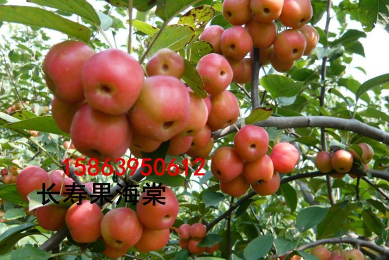 供应冬红果海棠,大规格的垂丝海棠种植,山东规格的垂丝海棠公司,山东规格的垂丝海棠公司