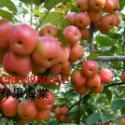 冬红果海棠图片