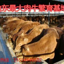 供应黄牛养殖批发