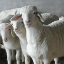 供应杜泊羊