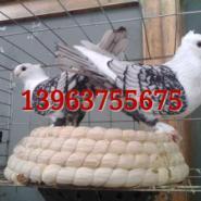 供应淑女鸽8-10个月的多少钱一对?淑女鸽种鸽一年能下几窝蛋