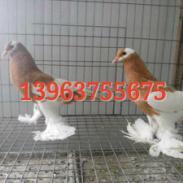 球胸鸽价格图片
