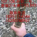 产量高的河南107杨树苗图片