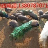 广西最大型凤凰白孔雀养殖场图片