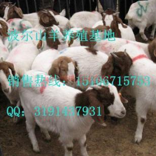 养殖20只波尔山羊的利润图片