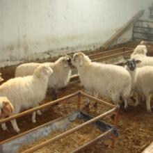 供应出售小尾寒羊