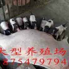 供应南昌泰国香猪巴马香猪养殖
