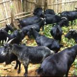 供应广西马山黑山羊种羊,山羊养殖技术,优质配种食用黑山羊