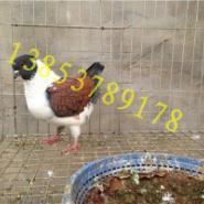 出售各种观赏鸽大鼻子鸽头型鸽孔雀图片