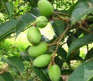 供應橄榄葉提取物