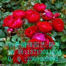 供應玫瑰月季東莞租花東莞植物租賃玫瑰批發