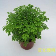 供應批發珊瑚蕨迷你盆栽植物批發