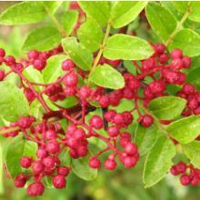 供应香料批发供应树上香料 大红袍花椒苗 果苗