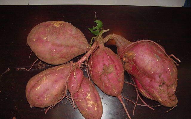 供应用于淀粉的豫薯13