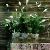 供应白掌成都植物鲜花租赁哪里最便宜