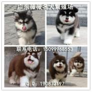 广州纯种阿拉斯加图片