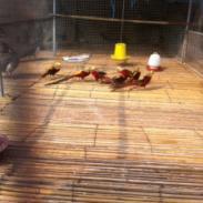 红腹锦鸡图片