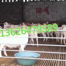 供应纯种白山羊,白山羊最新批发价格,白山羊采购商机