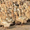 供应黑龙江省康贝尔鸭价格 黑龙江康贝尔鸭多少钱一只 黑龙江康贝尔鸭批发