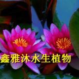 供应抗碱性睡莲种植方法,厂家种植荷花,芦苇,香蒲,水生鸢尾,千屈菜,芦竹,再力花,凤眼莲,水葱等