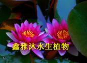 供应克拉玛依睡莲种植,厂家种植荷花,香蒲,芦苇,芦竹,是瘦腿袜,千屈菜,生态浮岛,再力花等