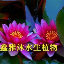 供应克拉玛依睡莲种植,厂家种植荷花,香蒲,芦苇,芦竹,是瘦腿袜,千屈菜,生态浮岛,再力花等图片