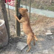 山东济南比特犬专业养殖图片