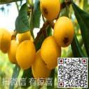 苏州东山白沙枇杷预订图片