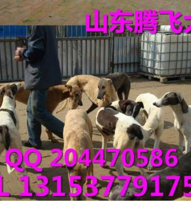 格力犬养殖图片/格力犬养殖样板图 (4)
