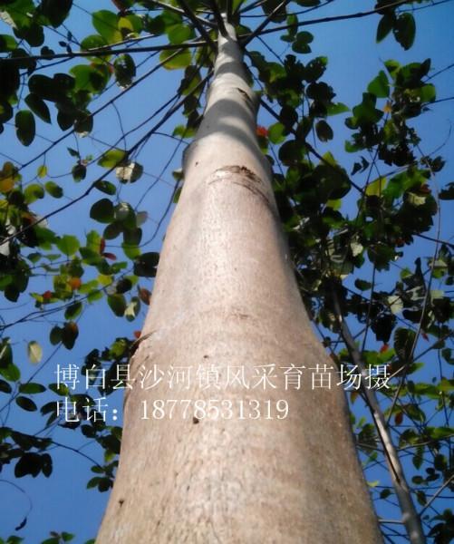 供应用于刨板,胶合板,家具,木地板的速生奇迹树白木楠,白楠木,楠白木,团花