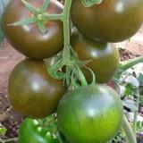 寿光绿兴种子种苗紫元帅樱桃番茄