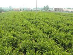 曼地亚红豆杉树苗图片