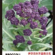 礼品菜伊莎贝尔紫色西兰花蔬菜图片