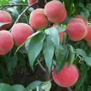 莱山蜜桃树苗图片
