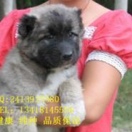 麒麟国际犬业出售高加索幼犬可挑选图片