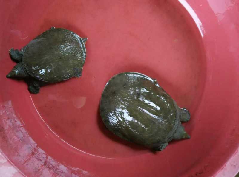 供应用于的重庆甲鱼养殖场甲鱼苗的批发价格/中华鳖甲鱼苗养殖批发价格