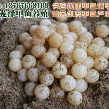 供应用于生态甲鱼苗的江西龙泽甲鱼苗培育养殖场