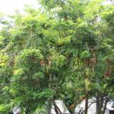 供應海南黃花梨圓林