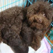 巧克力色泰迪幼犬上海价格图片图片